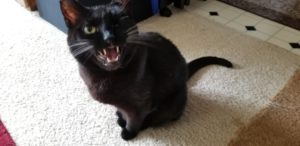 A sitting black cat looking up at the camera, meowing loudly.